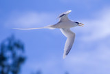 Weißschwanz-Tropikvogel (Phaethon lepturus) im Flug über Praslin, Seychellen. - 220762343