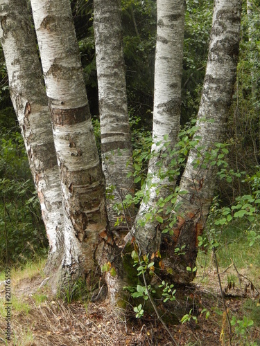The trunks of white birches in the forest