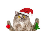 Gray long-haired British cat in Santa's hat keeps Christmas toys in their paws, isolated on a white background - 220773185