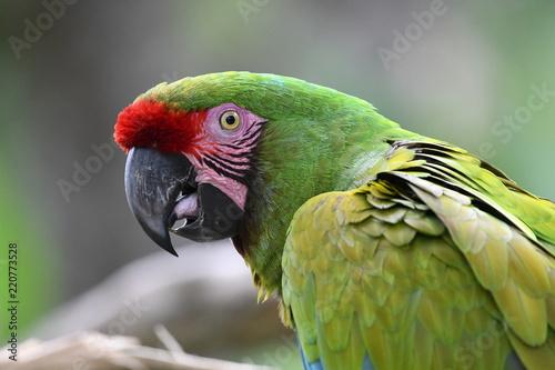 Fototapeta Green macaw