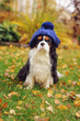 funny cavalier king charles spaniel dog sitting in knitted hat on the walk in autumn garden