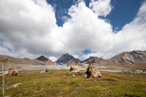 Cows on a alpine meadow at the foot of Forni glacier, Stelvio national park, Italy