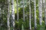 Birch grove - 220782530