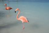 Fenicottero rosa ad Aruba - Caraibi