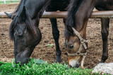 Beautiful young foal with mother horse on farm - 220792133