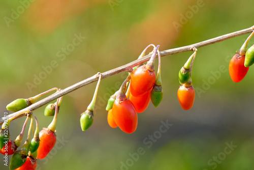 Foto Murales Goji berry - Twig filled with fresh goji berries