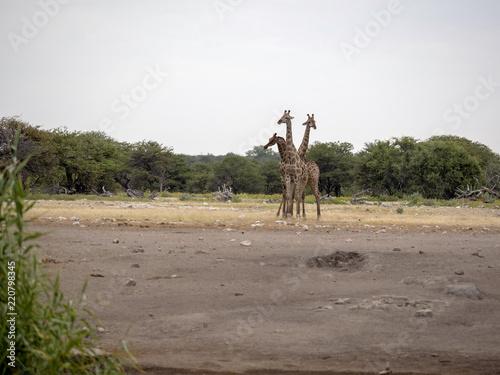 Fototapeta South African giraffe group, Giraffa giraffa giraffa, at waterhole, Namibia
