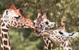 Reticulated giraffe (Giraffa camelopardalis reticulata) - 220813937