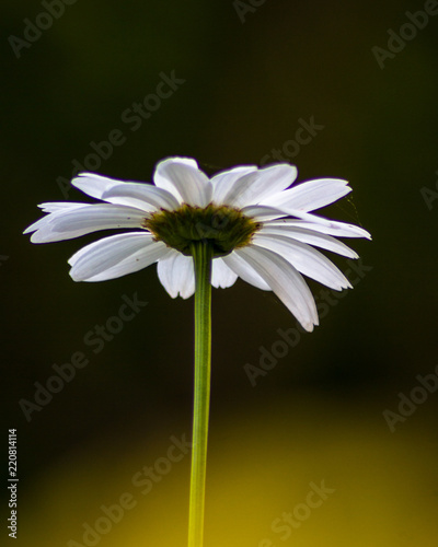 Isolated Flower with the blank space for Text - 220814114