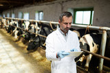 Waist up portrait of mature veterinarian or farm worker using digital tablet while working with cows at modern dairy factory, copy space - 220814395