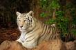 Weißer Tiger (Panthera tigris tigris)