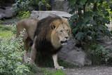 Löwe (Panthera leo) Männchen - 220815357