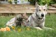 Saarloos Wolfhound bitch with puppy