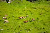 Hochalpenstrasse, Austria. Cows graze on a green meadow on a hill. Sunny summer day.
