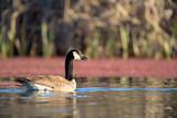 Floating single Canada goose in lake - 220834328