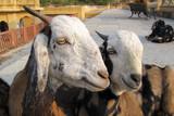 goat - 220839573