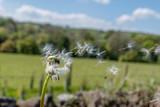 Dandelion Seed Head Blowing in the Wind - 220851371