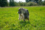 a goat grazing on a lawn in summer - 220852724