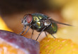 Green fly on fruit slices macro