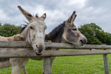 Donkey's Pulling Funny Faces