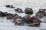 stado hopopotamów - 220860367