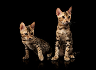 Two young bengal purebred cats on black background. © fotoatelie