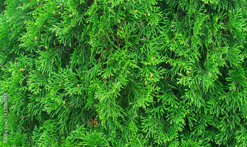Tui branches, vegetative green background, sunlight - 220864311