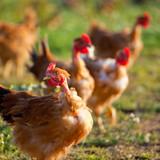 Poulets élevés en plein air - 220869926