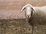 A sheep on a farm  - 220870515