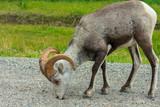 Stone Sheep Along The Alaska Highway, British Columbia, Canada. - 220893189