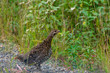 A Grouse Watching For Dangers Along The Dempster Highway