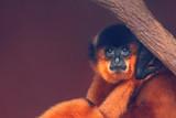 Yellow-cheeked crested gibbon (Nomascus gabriellae) - 220902554