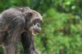 Chimpanzee monkey portrait, close-up - 220902712
