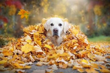 Golden Retriever schaut aus gelben Blättern im Herbst © Gabi Stickler