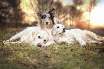 Drei Hunde liegen entspannt auf einer Wiese © Gabi
