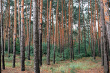 pine forest as a backdrop, beautiful and wild nature landscape - 220908796