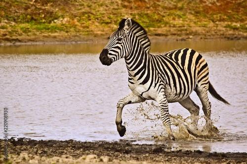 Zebra running in water - 220908930