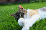 A felis silvestris catus lying in grass and cleaning her legs and paws. Relax after hard day - 220910995