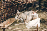 Couple of goats lying and resting on straw bedding near feeder with food behind wattle fencing - 220911533