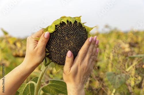 Field sunflowers. Sunflowers matured. Sunflower seeds full of seeds. Advertising banner of sunflower seeds.