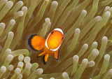 Ocellaris clownfish ( Aphiprion ocellaris ) or false clown anemonefish shelters itself among the venomous tentacles of a magnificent sea anemone ( Heteractis magnifica ), Bali, Indonesia - 220921597