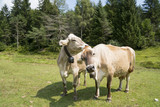 Cows grazing in mountain meadow - 220928994