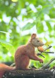 Eichhörnchen mit Nuss - 220939594