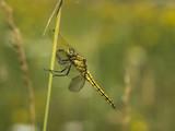 Eine gelbe Libelle sitzt an einen Grashalm auf einer Wiese. - 220946512