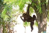 orangutan in the jungle - 220955724