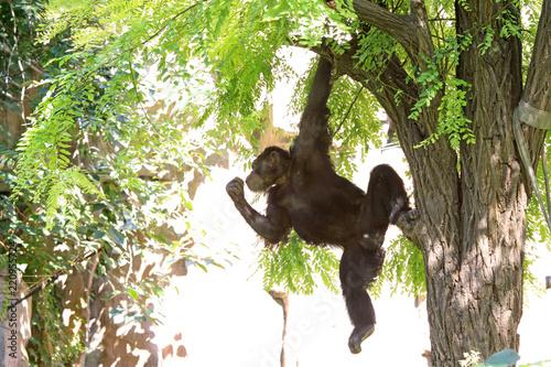 Fototapeta orangutan in the jungle