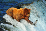Grizzly bear at Brooks falls - 220961963