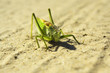 large green grasshopper on a sandy road, close up