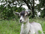 Goat grazing in a forest. Funny curious goat on a pasture - 220975540