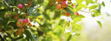 ripe red apples on branches with green leaves  - 220977744